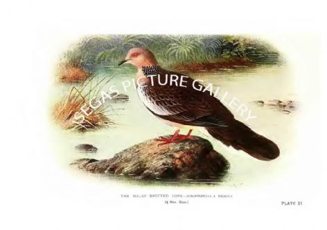 Fine art Print of the Dove, the Malay Spotted